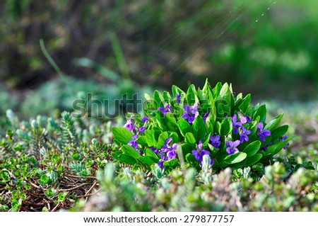 Wild purple flower in dew - stock photo