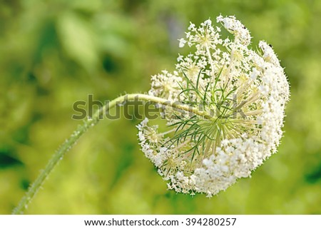 Wild Queen Anne's lace flower against a blurred foliage background. - stock photo