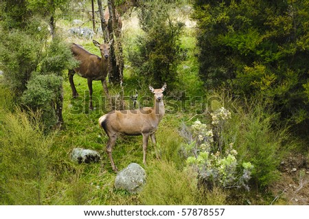 Wild red deer in the Seaward range of mountains, near Kaikora, South Island, New Zealand - stock photo