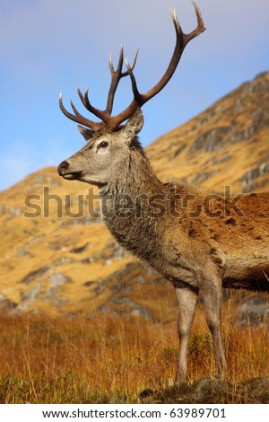 Wild Red Deer Stag during the rutting season in October. - stock photo