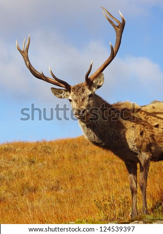 Wild Red Deer Stag in the Scottish Highlands. - stock photo