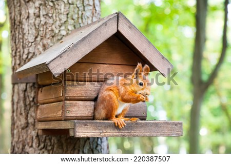 Wild red european squirrel eats in his house - stock photo