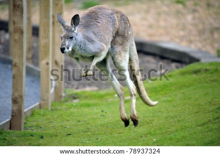 Wild Red Kangaroo in Austrailia - stock photo