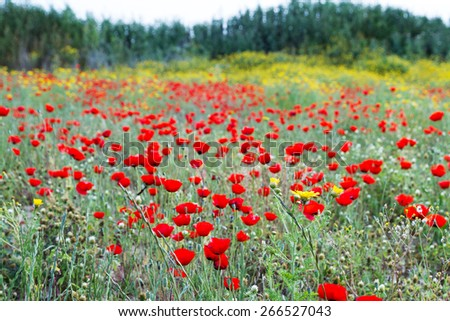 Wild red poppy and white daisy flowers in the meadow. - stock photo