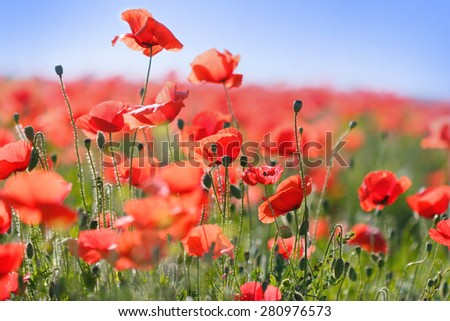 Wild red poppy flowers in meadow - stock photo