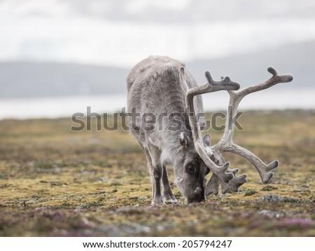 Wild reindeer - Arctic, Svalbard - stock photo