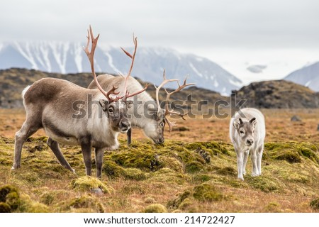 Wild reindeer family - Spitsbergen, Svalbard - stock photo