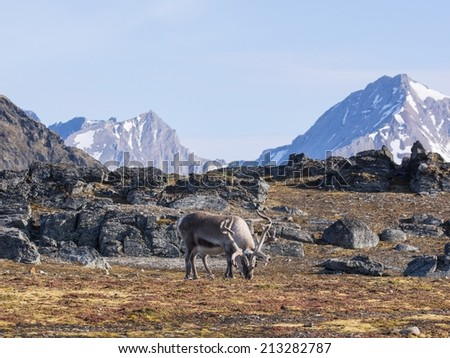 Wild reindeer in Arctic tundra - stock photo