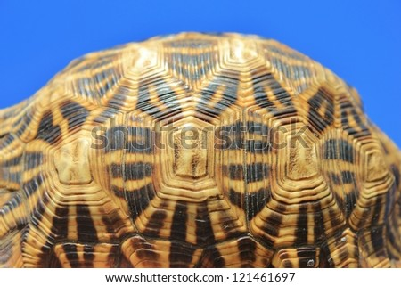Wild Reptiles from Namibia, Africa - Leopard skinned Tortoise from the side - stock photo