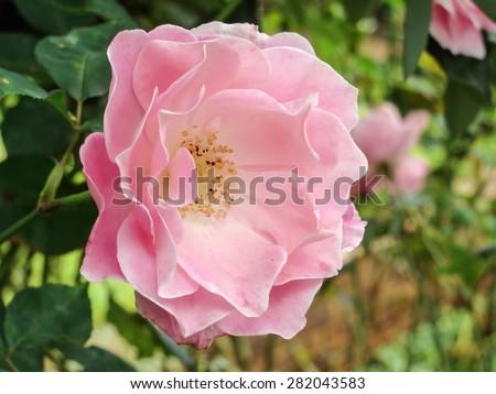 Wild rose macro - stock photo