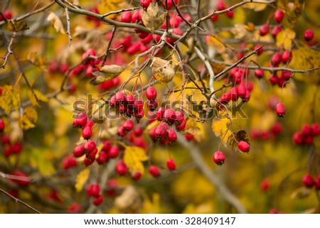 wild rosehips in nature, beautiful background, Red Cankerberry on the Branch of Bush - stock photo
