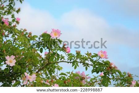 wild roses - stock photo
