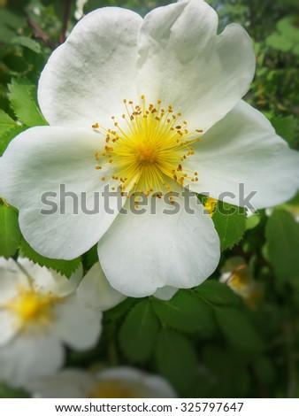 wild roses bloom - stock photo