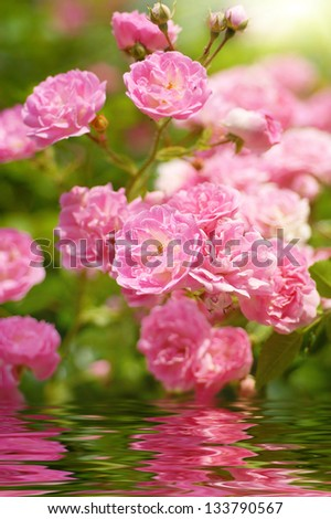 wild roses reflecting in water - stock photo