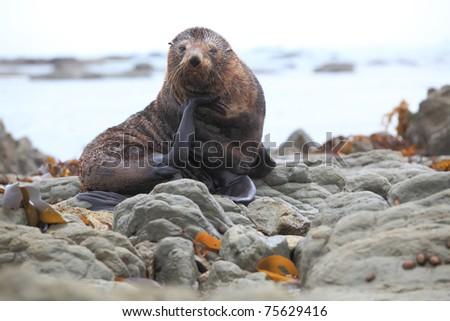 wild seal at Seal colony coastal in Kaikoura New Zealand - stock photo