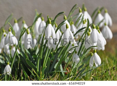 Wild Snowdrops - stock photo
