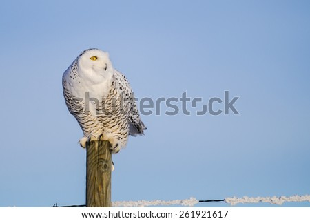 Wild snowy owl perched on a fence post in winter - stock photo