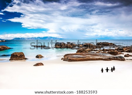 Wild South African penguins, colony of Black-footed Penguins walking on Boulders beach in Simons Town, beauty of wildlife - stock photo