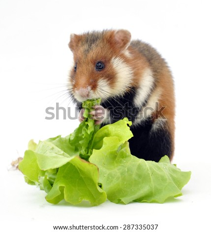 Wild spotted an aggressive hamster consuming green salad  - stock photo