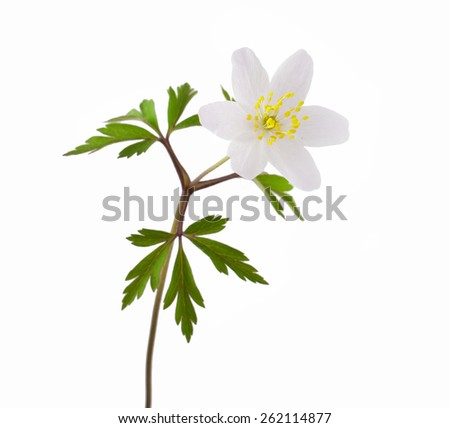 Wild spring wood Anemone (Anemone nemorosa) isolated on white background - stock photo
