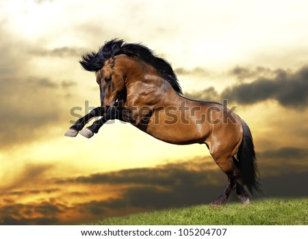 wild stallion plays - stock photo