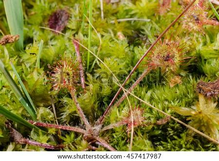 wild sundew, moor  - stock photo