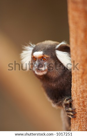 Wild tamarin monkey, Brazil - stock photo