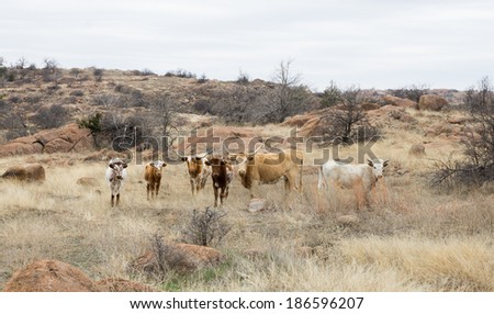 Wild Texas Longhorn breed cows with calves in the Wichita Mountains Wildlife Refuge  (Oklahoma, USA) - stock photo