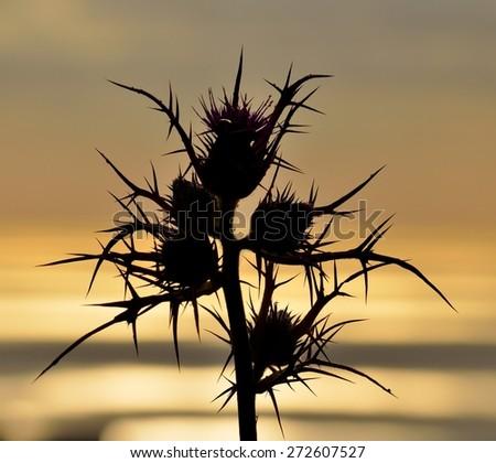 Wild thistle flowers at sunrise - stock photo