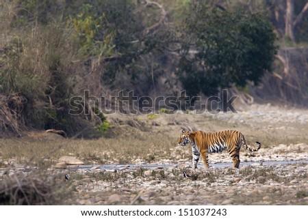 Wild Tiger specie Panthera tigris, female, in Nepal - stock photo