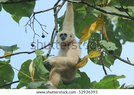 Wild White-handed Gibbon in a Teak Tree in Khao Yai National Park, Thailand - stock photo