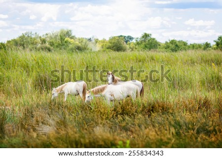 wild white horses of the Camargue, Provence, France, grazing in the wetlands on a summer afternoon - stock photo