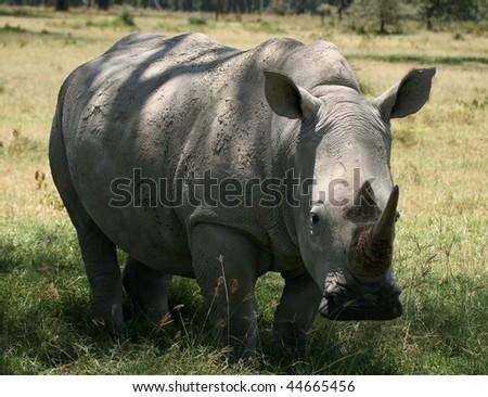 Wild White Rhinoceros in Kenya's Tsavo national park - stock photo