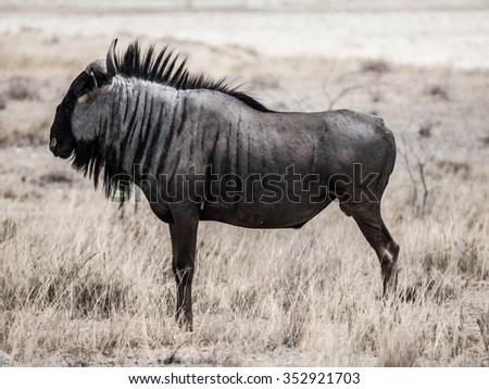 Wild wildebeest gnu standing in savanna of Etosha National Park, Namibia. Profile view.. Black and white image. - stock photo
