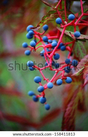Wild wine in autumn Leaves and fruits from the wild wine in autumn  - stock photo