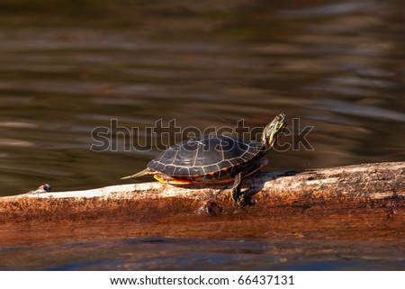 Wild Wisconsin Painted Turtle Sunning Himself On A Log In Wisconsin - stock photo