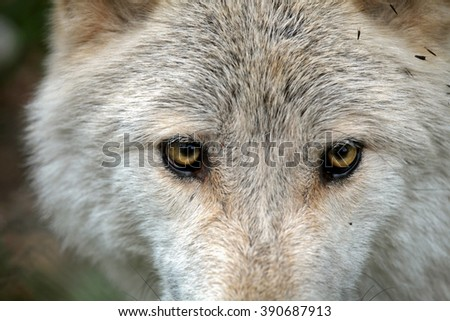 Wild wolf in the woods during autumn, with a close up of the eyes. - stock photo