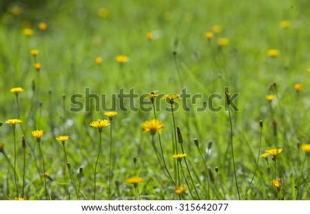 Wild yellow flower on green grass. Dandelion background  - stock photo