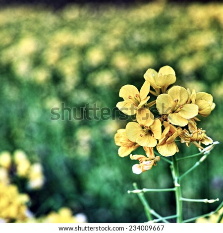 Wild Yellow Primrose Flowers (Scientific name: Oenothera) Yellow and green background - stock photo