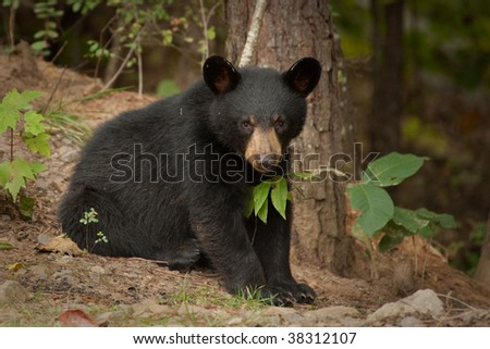 wild young black bear by a tree - stock photo