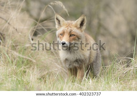 Wild young red fox (vulpes vulpes) vixen scavenging in a forest - stock photo
