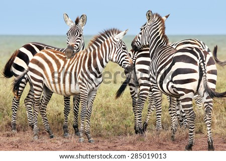 Wild Zebra gather in a group and watch for predators in all directions in the plains of the Serengeti, Tanzania, Africa. - stock photo