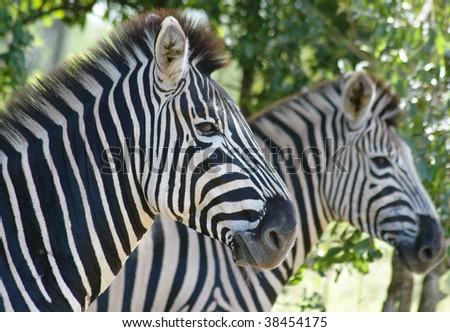 Wild Zebras - stock photo