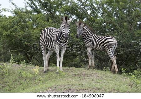 wild zebras in kruger national park in Africa - stock photo