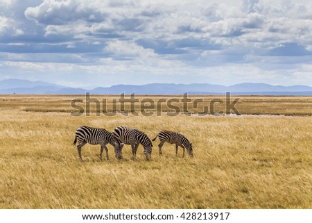 Wild zebras on the African savannah. Kenya. - stock photo