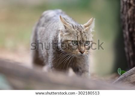 Wildcat is going - stock photo