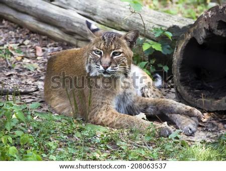 Wildcat resting in grass - stock photo