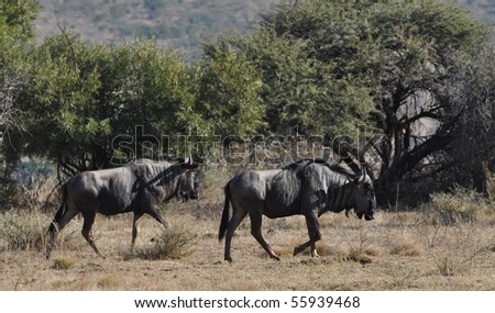 Wildebeast walking - stock photo