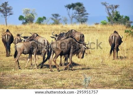 Wildebeest antelopes in Masai Mara, Kenya at morning time.  - stock photo