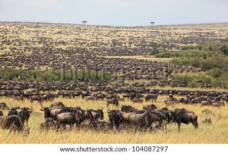 Wildebeest antelopes in the savannah Masai Mara, Kenya - stock photo